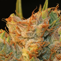 T.H.Seeds MK-Ultra Kush x Bubble Feminized