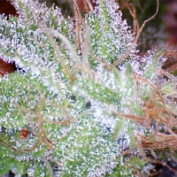 Nirvana Seeds Ice Feminised