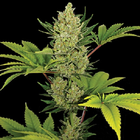 Barney's Farm Seeds Auto Blue Cheese Feminized