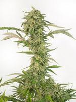 Dinafem Seeds O.G. Kush Autoflowering CBD Feminized