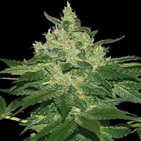 World of Seeds Landrace Afghan Kush Feminised