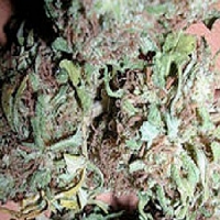 KC Brains Seeds Bahia Blackhead Regular