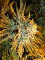 Sensible Seeds Premium Selection Power Plant Primo Feminized