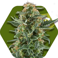 Zambeza Seeds Power Plant XL Auto Feminized