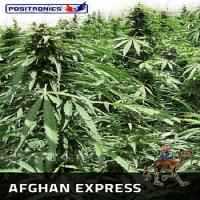 Positronics Seeds Afghan Express Auto Feminized (PICK N MIX)