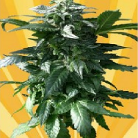 Freedom of Seeds Diesel Devil Auto Feminised