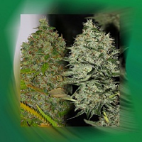 Connoisseur Genetics Seeds OG Jones Regular