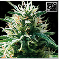 BlimBurn Seeds Sweety Automatic Feminised