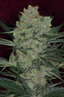 TGA Subcool Seeds Cheese Quake Regular
