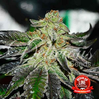 Delicious Seeds Original Juan Herer Regular