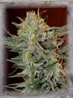 Garden of Green Seeds Amnesia Lemon Kush Feminized