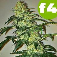 Roor Seeds Grand OG F4 Feminized