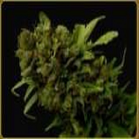 Soma Seeds Citralah Regular