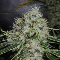 Karma Genetics Seeds Dominator x Biker Ltd Regular