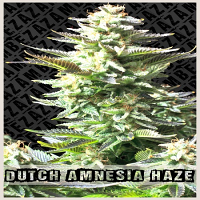 Zambeza Seeds Dutch Amnesia Haze Feminized