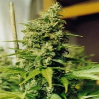 Nirvana Seeds Medusa Feminized