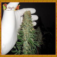 Dr Krippling Seeds Mango Chutney Feminised (PICK N MIX)