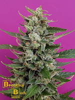 Breaking Buds Seeds Strawberry Cream Feminized (PICK N MIX)