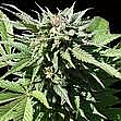 Finest Medical Seeds - Medifem SS Feminized
