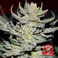 Delicous Seeds Desconocida Kush Regular