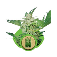 Royal Queen Seeds Royal AK Automatic Feminized