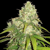 World of Seeds Medical Collection Afghan Kush x Yumbolt Feminized