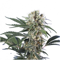 Hero Seeds Wonder Black Domina Feminized