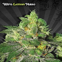 Auto Seeds Ultra Lemon Haze Auto Feminised