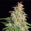 World of Seeds Medical Collectioin Mazar x White Rhino Feminized