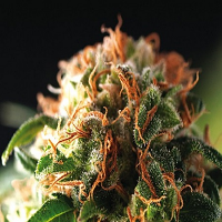 Pyramid Seeds Auto Fresh Candy Feminized