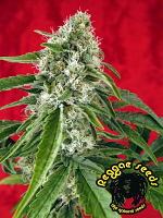 Reggae Seeds Dub Regular