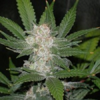 Reeferman Seeds Fire OG Kush Feminized