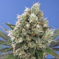 Vulkania Seeds Northern City Haze Feminized