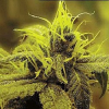 Sagarmatha Seeds Honolulu Haze Feminized