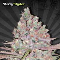 Auto Seeds Berry Ryder Auto Feminised