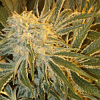 Sagarmatha Seeds Northern Lights #9 Feminized