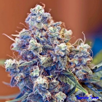 Female Seeds Iced Grapefruit Indoor Feminized
