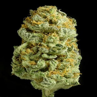 Dinafem Seeds Critical Cheese Feminised