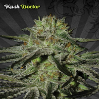Auto Seeds Kush Doctor Auto Feminized