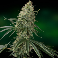 Barney's Farm Seeds Sin Tra Bajo Auto Feminized (PICK N MIX)