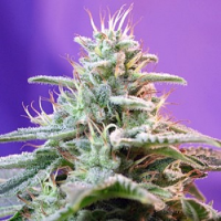 Sweet Seeds Sweet Special F1 Fast Version Feminized