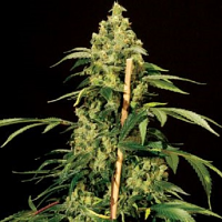 Bulldog Seeds Jack Herer Feminized