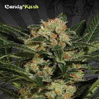 Auto Seeds Candy Kush Auto Feminized