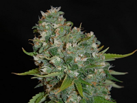 Sensible Seeds Premium Selection Amnesia Haze Automatic Feminized