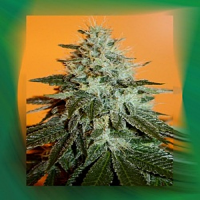Connoisseur Genetics Seeds Fuel Regular