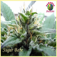 Paradise Seeds Sugar Babe Regular