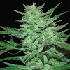 Samsara Seeds Crazy Miss Hyde Feminized