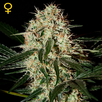 Green House Seeds Arjans Haze #3 Feminized