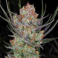 TGA Subcool Seeds Bryan Berry Cough Regular