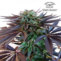 Dutch Passion Seeds Night Queen Feminized